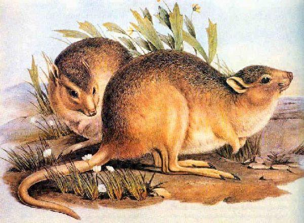 Гологрудого кенгуру называют еще степной кенгуровой крысой. Обитатель австралийских каменистых равнин, животное было единственным видом одноимённого рода из семейства Кенгуровых крыс. Сегодня гологрудые кенгуру – вымерший вид, а последнее упоминание о виде датируется 1930-ым годом.