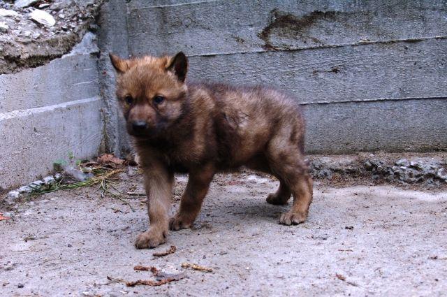 Детёныш канадского волка