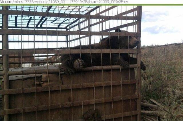 Южноуральцы озабочены состоянием медведя, живущего на стоянке около Сима