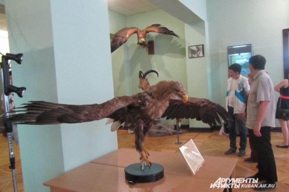 Орлан-белохвост. Редчайший экземпляр. Птицы такого размера когда-то водились на Кубани.