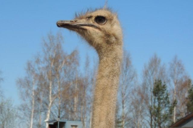 В челябинском зоопарке родились эму - страусы, играющие в футбол
