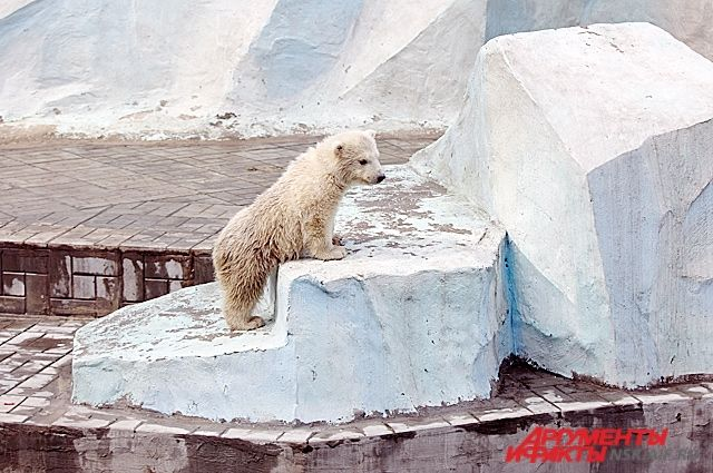 Белая медведица Шилка.