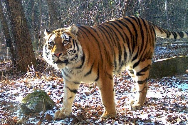 Амурский тигр в Приморской тайге.
