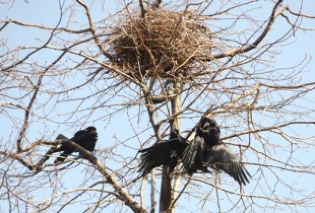 Семейство ворон угрожали детскому саду в Миассе