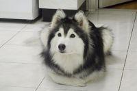 Собака породы Хаски, которая ведёт себя, как кошка.