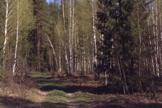 В Омской области идет работа по восстановлению лесов.
