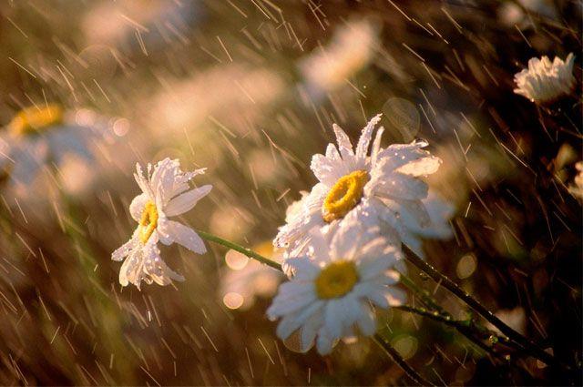 Ромашки под майским дождем