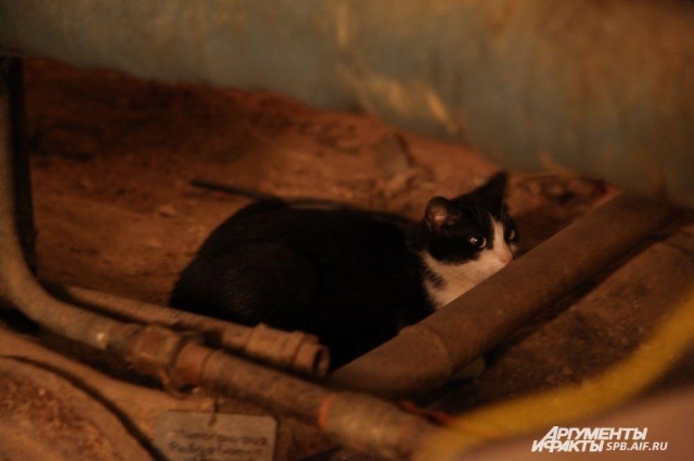 Эрмитажные коты - особая порода петербургских котов, воспитанная эрмитами и эрмитессами. Эрмиты - петербургские домовые с европейскими корнями, которые населяют Петербург со времён его основания