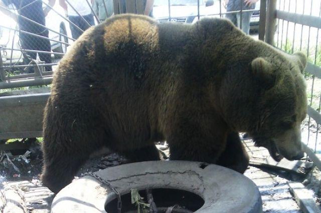 Медведь здоров и может дальше жить на трассе под Симом — ветеринар Даллакян