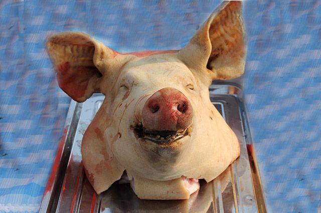 Свиная голова деликатес, если животное не больно.