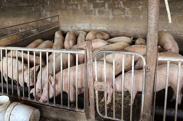 Чтобы пресечь распространение инфекции, фермеры вынуждены отдавать животных на убой.