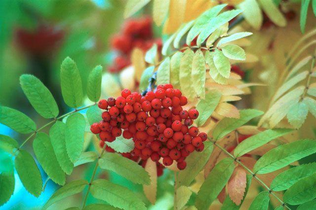 Рябину могут посадить от Иркутской области на аллеи России.