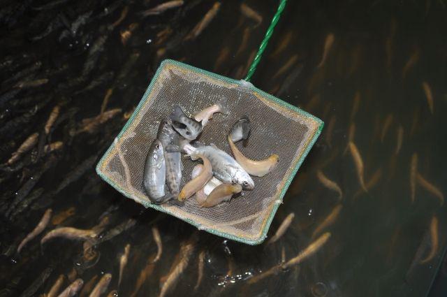 В Омске будут выращивать рыбу ценных пород.