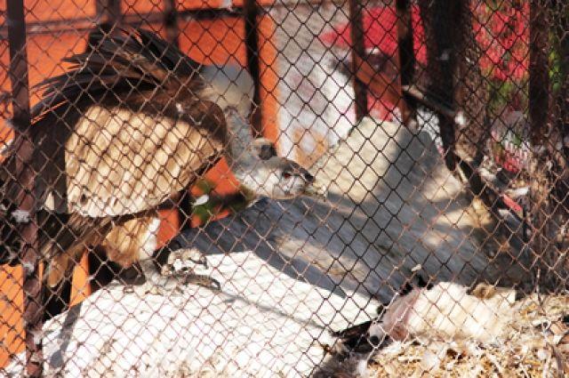 В Екатеринбургском зоопарке белоголовые сипы впервые стали родителями