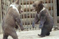 Маленькие медвежата Потап и Настя.