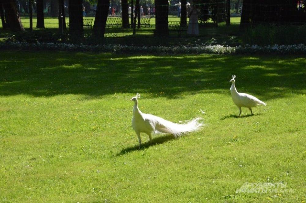 Белые павлины украсили Михайловский сад
