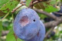 Сливовая плодожорка.