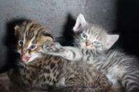 дальневосточные и домашние котята стали братьями.