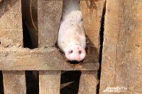 Розовый пятачок ещё не означает, что животное здорово.
