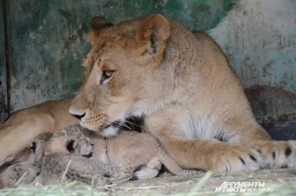 Эти львята появились на свет 5 июня прямо в зоопарке.