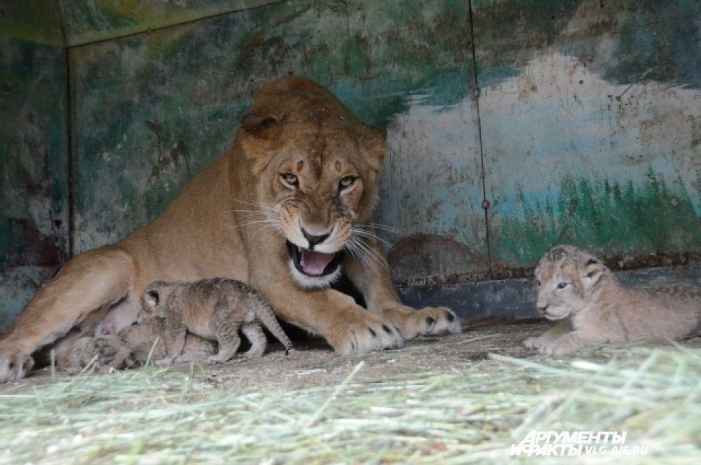 Львица Катя ревностно охраняет свое потомство.