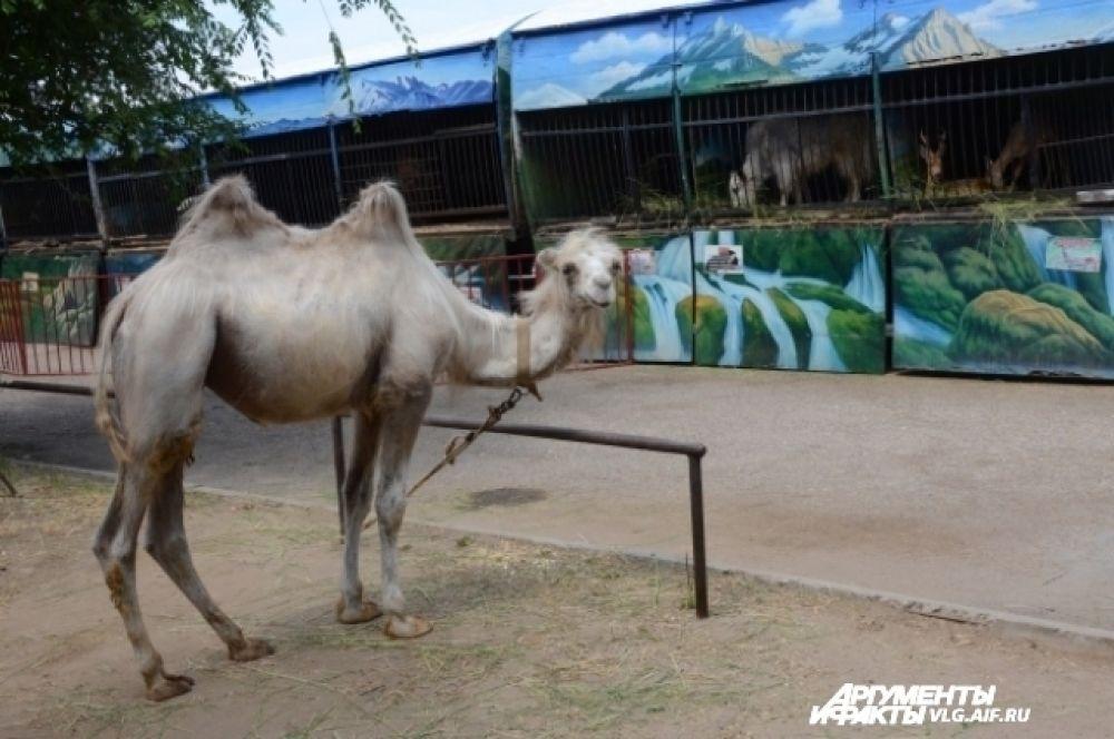 Двугорбый верблюд Динара. Ему 2 года.