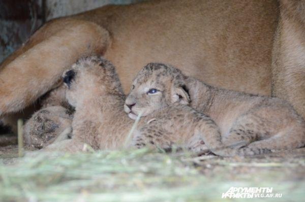 Львята, три мальчика и одна девочка, здоровы и кушают хорошо.