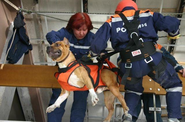 Кинологи тренируют собак-спасателей.