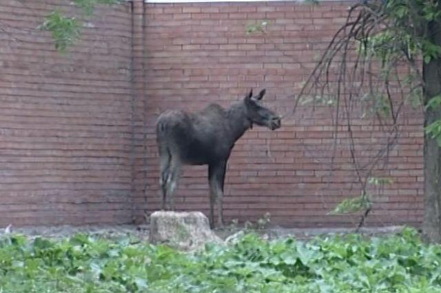 В городах Урала нашествие лосей
