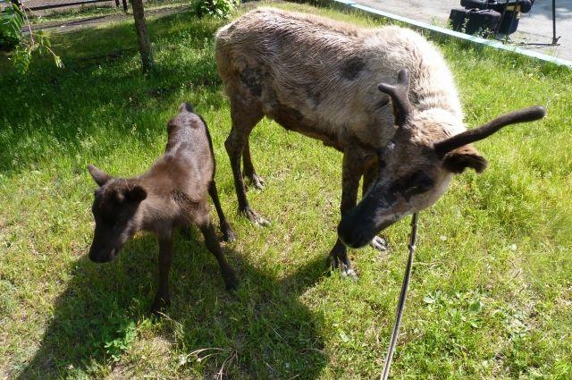 Любопытный северный олененок родился в Челябинском зоопарке. ФОТО