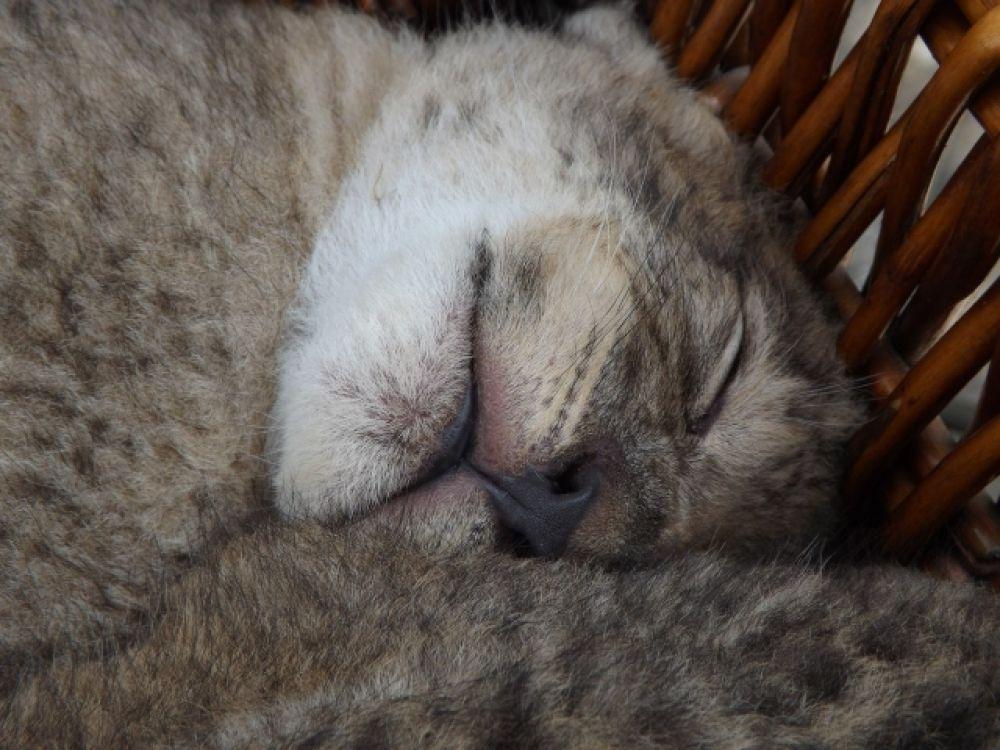 В зоопарке Запорожья родились девять львят редкой породы
