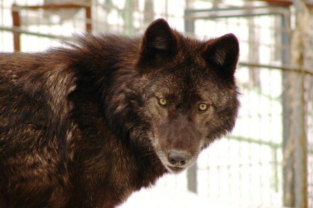 Так выглядит настоящий волк.