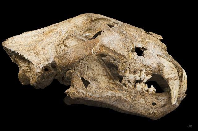Так выглядит череп пещерного льва.