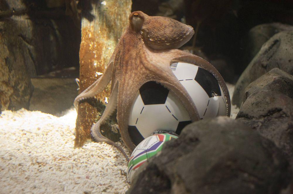 Самым известным футбольным предсказателем в 2008 году стал осьминог Пауль. Перед игрой ему ставили две кормушки, отличавшиеся лишь нарисованными на корпусе флагами команд-участников, - победителем матча должна была стать та команда, кормушку с флагом которой Пауль открывал первой.