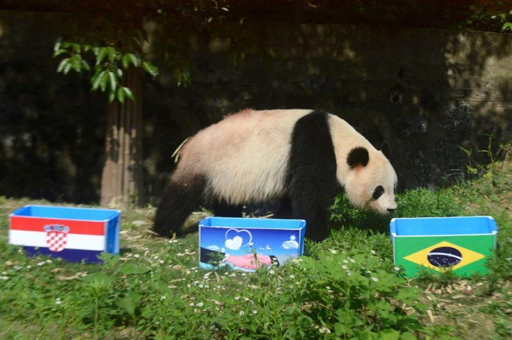 В Китае к предсказанию футбольных матчей животными подошли с большим размахом. Для этого местные учёные отобрали несколько детёнышей панд, которым будут показаны три корзины с едой и победителя предстоящего матча. Относительно матча-открытия Бразилия – Хорватия панды оказались правы, также поставив на Бразилию.