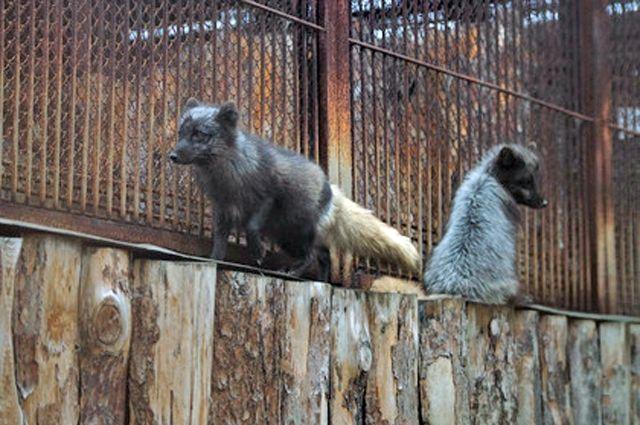 Барсуки и песцы в зоопарке Екатеринбурга показали «лицо»