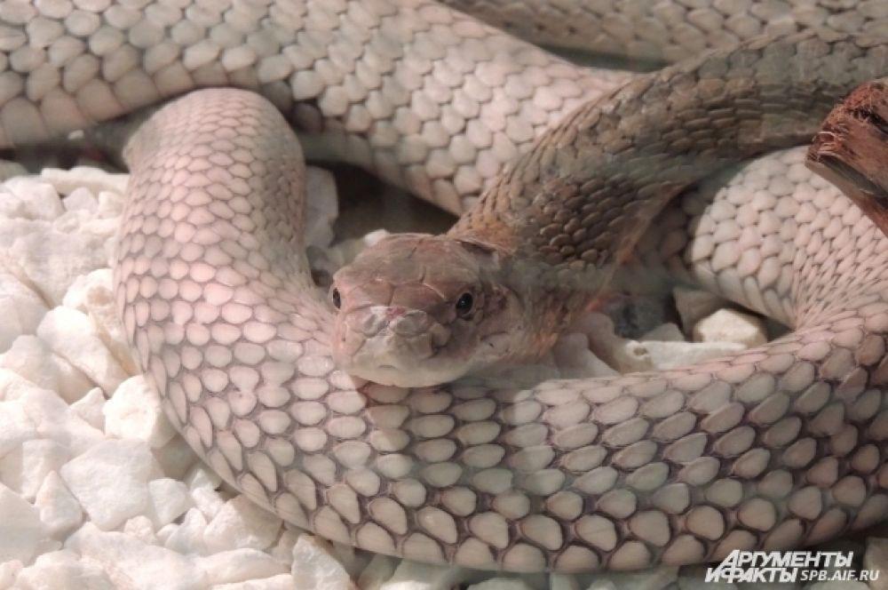 Королевская кобра умеет плеваться ядом.
