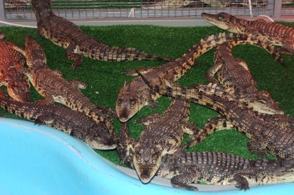 На «Крокодиловой ферме» живут около ста обитателей.