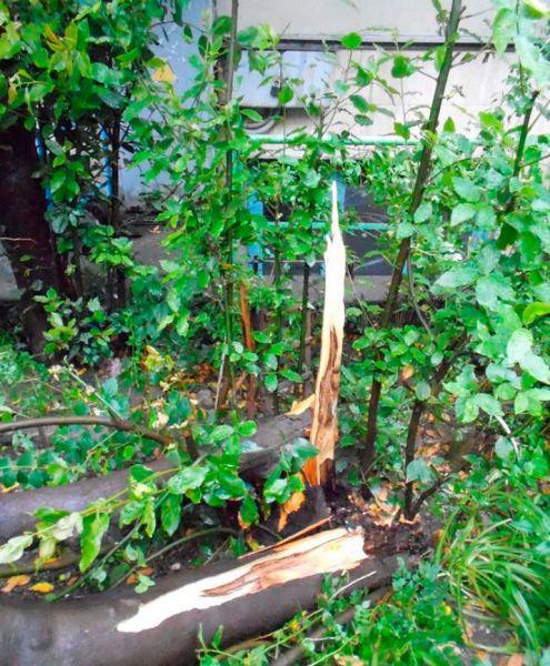 Остатки поваленного ливнем дерева в Алуште