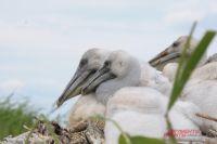 Молодые пеликаны могут не успеть встать на крыло до холодов.
