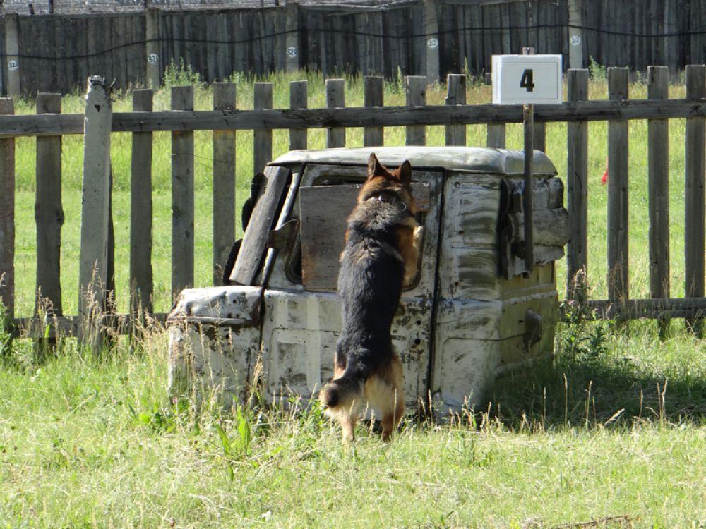 За 6 минут собака должна отыскать человека, спрятавшегося в объектах. И обозначить его лапой
