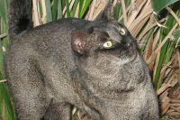 Кошка породы «Чаузи».