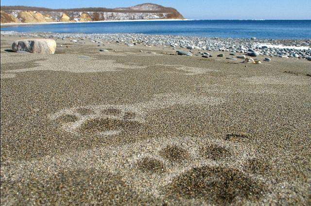 Следы тигра на прибрежном песке.