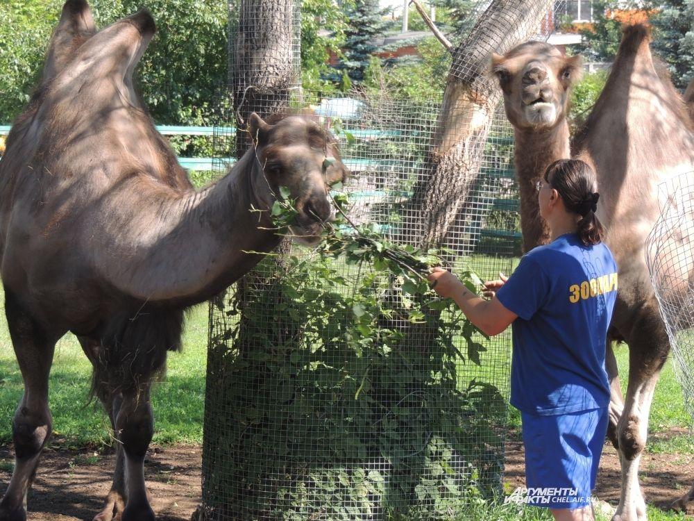 Берблюд любит, когда ему чешут голову. говорят работники зоопарка.