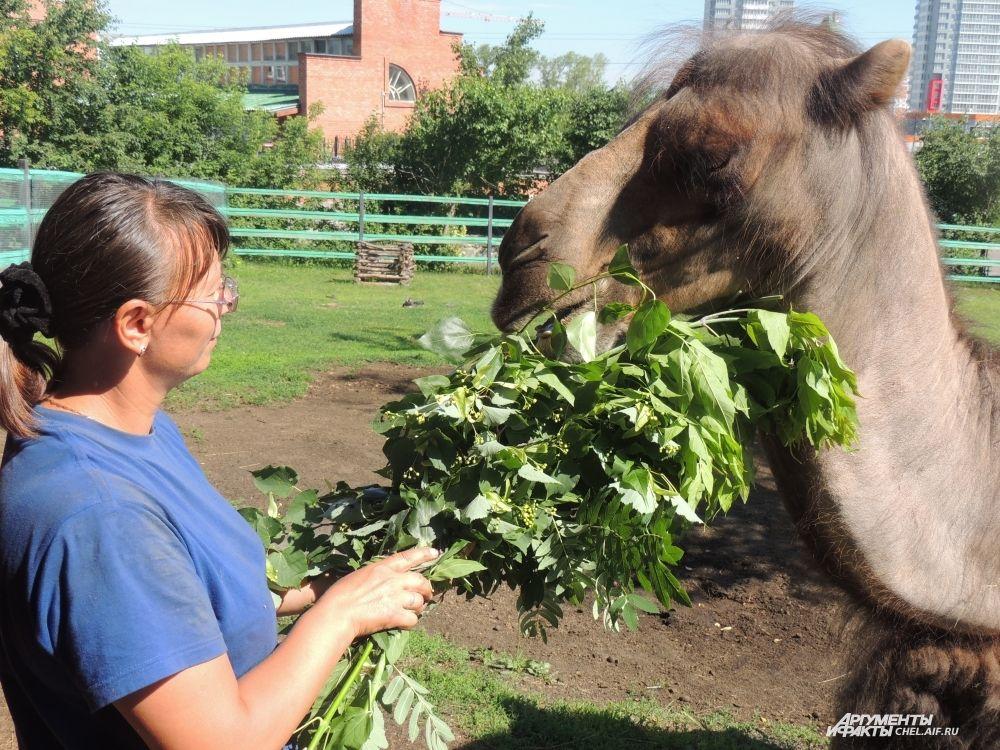 Свежая зелень гораздо вкуснее верблюжьих колючек.