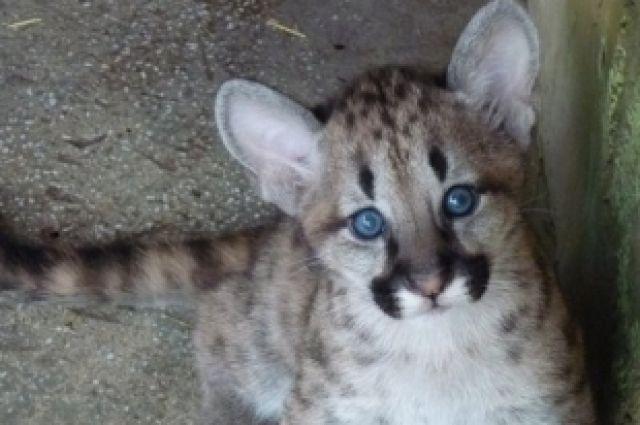 У пум Анжелики и Лео в челябинском зоопарке родились котята