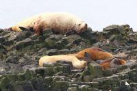 Сивучи со щенками на Северо-Западном лежбище острова Беринга