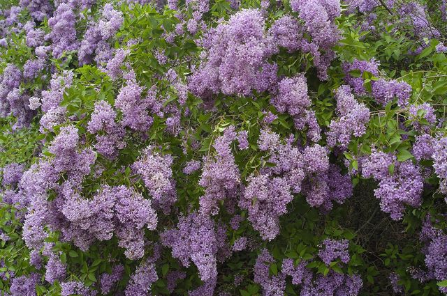 Новосибирцам предстоит выбрать растение-символ региона из пяти вариантов