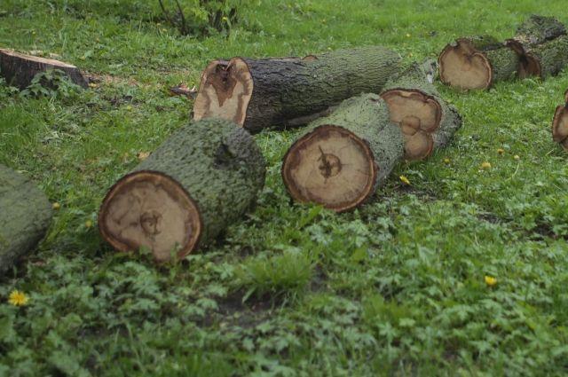 Аварийные деревья на набережной Оми спиливают.