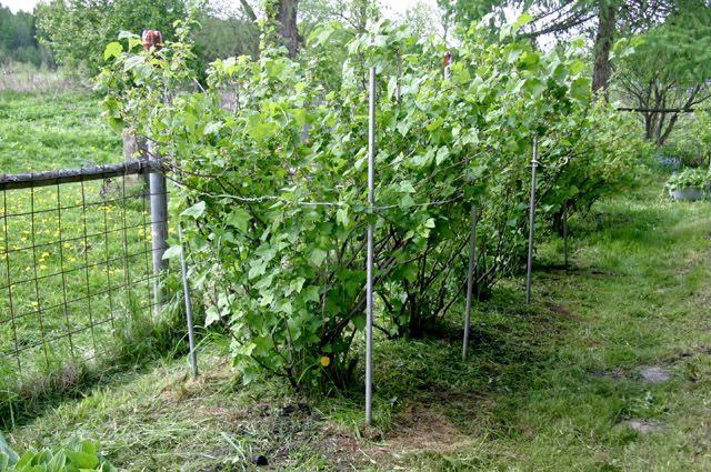 Что посадить из плодовых деревьев на даче